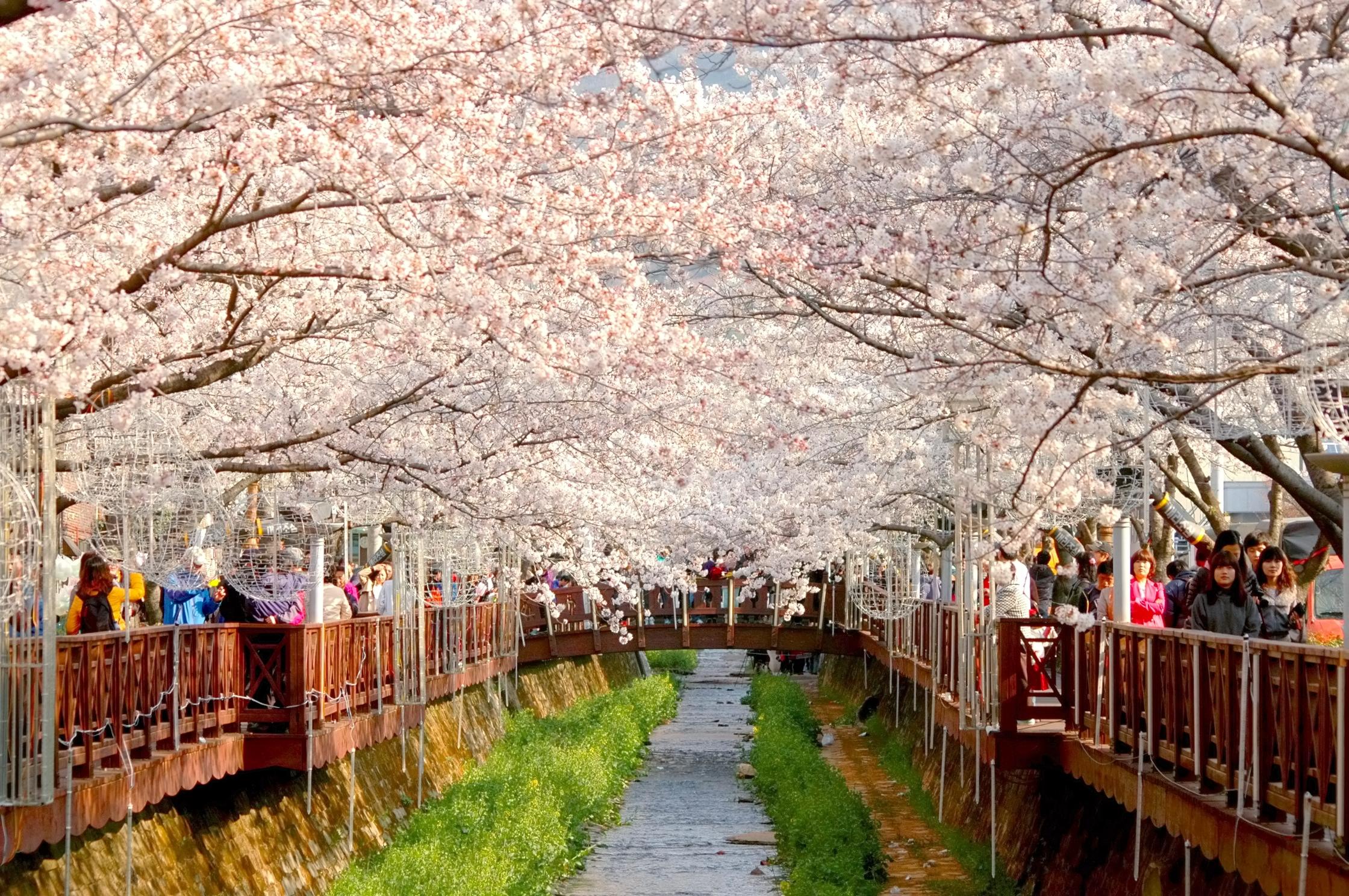 cherry blossom festival - HD1156×768